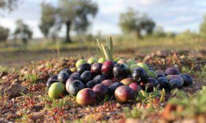 Aceite de oliva en Extremadura