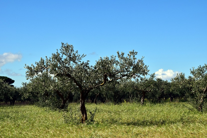 Olivar de Andalucía