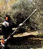 recoleccion_del_aceite_de_oliva2