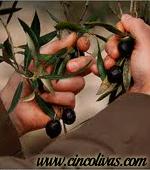 recoleccion_del_aceite_de_oliva3